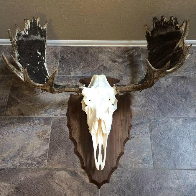 Custom Moose Skull Mount Plaque